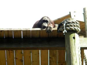 Gorilla looking over fence